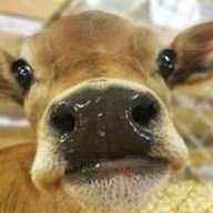 Cow facing the camera